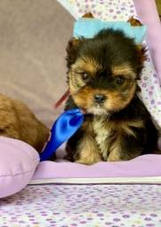 Yorkshire Terrier macho ja adestrado no tapete higiênico