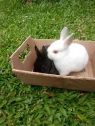 Mini coelhos Netherland