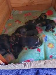 Filhotes de Dachshund (Basset)