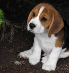 Amor!! Beagle Filhote com 13 Polegadas com Pedigree e Garantia de Saúde