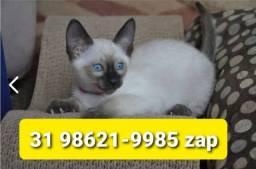 Título do anúncio: Gatil em BH Belos Filhotes de Gatos Siamês Persa ou Angora