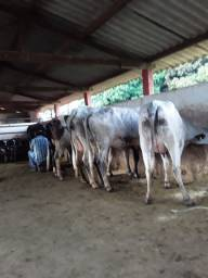 Novilhas leiteiras paridas