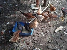 Vende-se frango e galinha