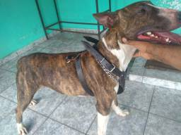 Bull Terrier .procura namorada