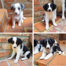 Vendo Filhotes de Border Collie