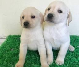 Labrador Filhotes Recibo Garantia de saúde Pedigree
