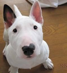 Bull Terrier -
