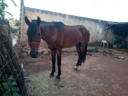 Cavalo marcha batida e picada de Sela