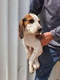 Título do anúncio: Filhotinhos macho beagle vacinado Vermífugado