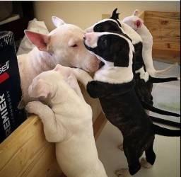 Bull terrier machos e fêmeas disponíveis a pronta entrega garanta já seu bebê