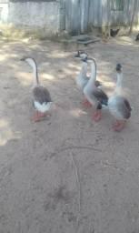 Vendo ou troco gansos sinaleiros