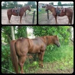 Tenho cavalo garanhão registrado P.O