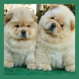 Belos bebês de chow chow