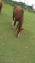 Vendo égua manga larga P . E um potro manga larga 1/7 mes ajeitado