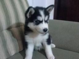 Husky Siberiano para adoção