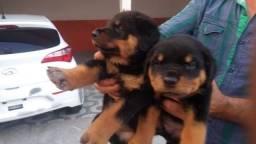 Rottweiler Puros 5 Femeas e 1 Macho Zap na Descriçao