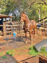 Cavalo QM