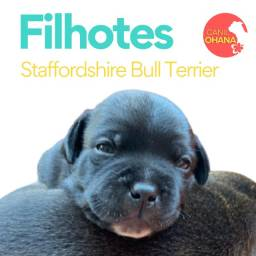 Filhote Staffordshire Bull Terrier