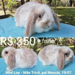 Mini coelho Mini Lop