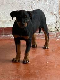 Título do anúncio: Linda Rottweiler fêmea
