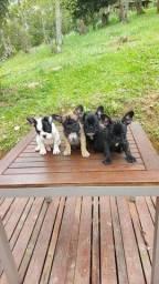 Lindos filhotes de Bulldog Francês para pronta entrega