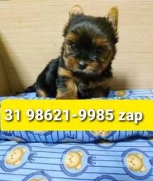 Título do anúncio: Canil Filhotes Cães Top BH Yorkshire Shihtzu Maltês Lhasa Basset Bulldog