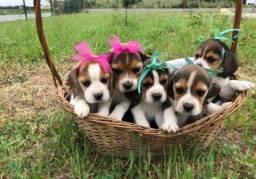 Padrão da Raça! Beagle 13 Polegadas. Com Pedigree e Garantia de Saúde