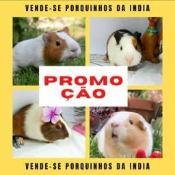 Vende-se Porquinhos Da Índia