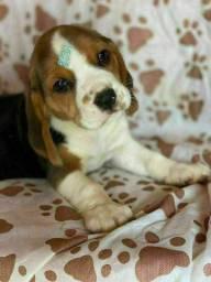 Beagle 13 polegadas com pedigree microchip até em 18x