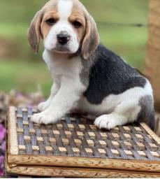 Título do anúncio: Beagle Pequeno// PROMOÇÃO DA CRIANÇADA @canilcanaa CE