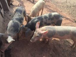 Título do anúncio: Porcos da raça Pietrain e  Largewhite
