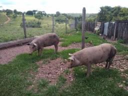 Porco e Porca Caipira