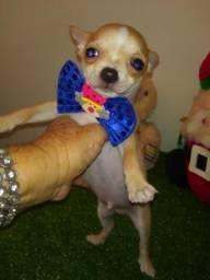Chihuahuas miniaturas ( Promoção )