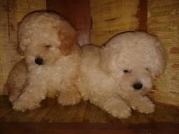 Poodle Toy fêmeas