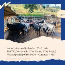 Vacas Girolando em lactação (Gado Leiteiro)