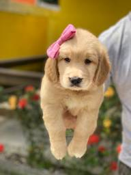 Filhotinho de Golden lindos e amigáveis