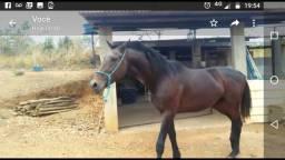 Cavalo puro sangue registrado