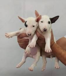 Companheiro E Protetor Conheça Os Nossos Filhotes De Bull Terrier Chame Canil Império