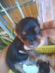 Cachorinhos yorhaire 1mes