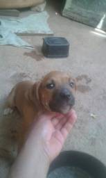 Cadela Labrador com boxer 5 meses de vida