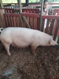 Vende-se porcos de raça com registro