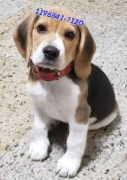 Filhotes lindos de Beagle tricolor machos e fêmeas apronta entrega só aqui...