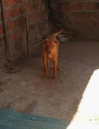 Vende-se cachorro pitbull com rottweiler