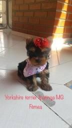 Título do anúncio:  Vende filhote  de yorkshire terrier fêmea
