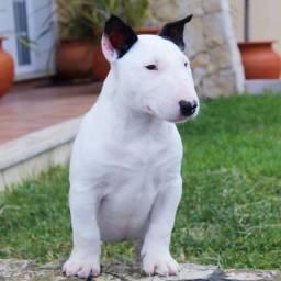 Bull Terrier Inglês * geovane