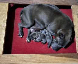 Título do anúncio: Filhote American Staffordshire Terrier - BlueNose