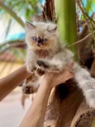Gato persas e himalaias