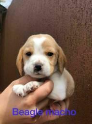 Foofurinhas de beagle vacinados