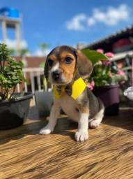 Bebês de Beagle