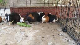 Vende-se Porquinhos Da Índia Filhotes